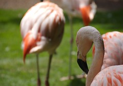 flower(0.0), ibis(0.0), animal(1.0), fauna(1.0), close-up(1.0), beak(1.0), flamingo(1.0), bird(1.0), wildlife(1.0),