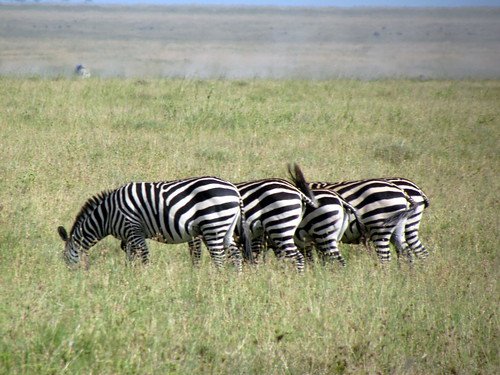 Zebra - Serengeti National Park safari - Tanzania, Africa