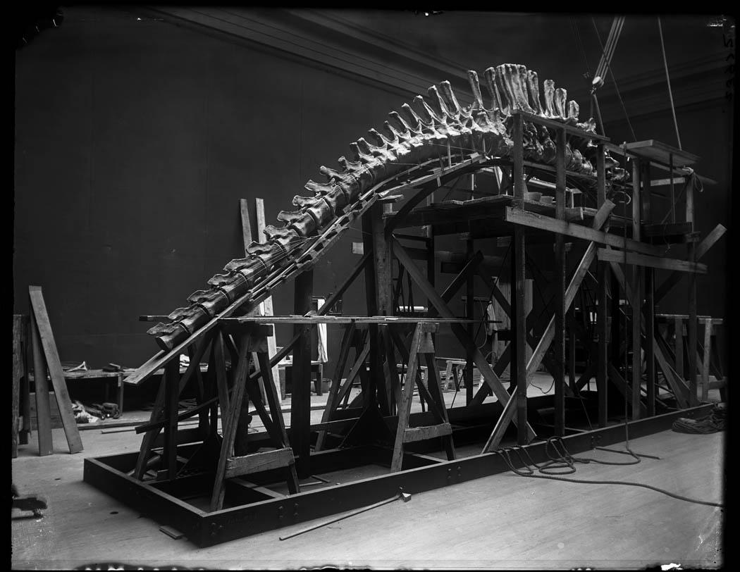Apatosaurus (Brontosaurus) skeleton