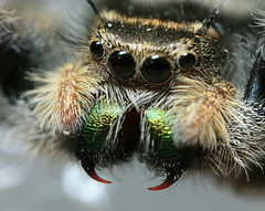 Jumping Spider Fangs