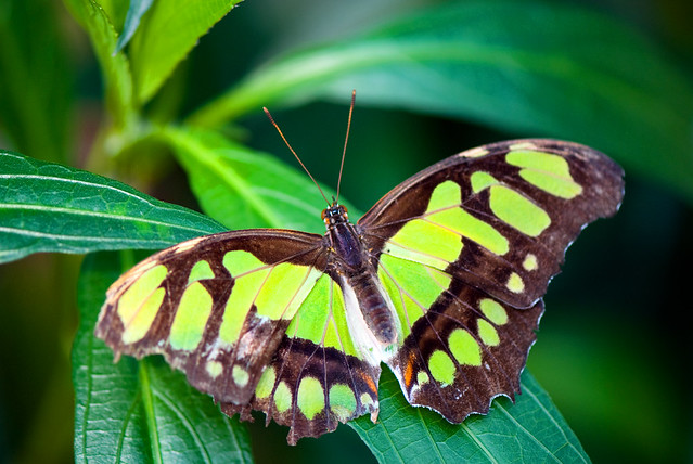 Papillon vert flickr photo sharing for Papillon centre jardin hamel 2016