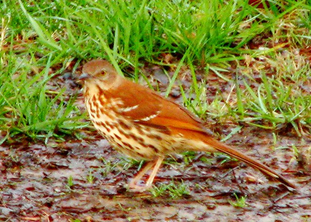 thrush photos #10