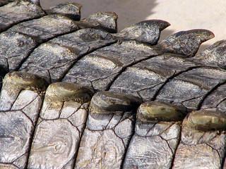 Crocodile's skin_0568