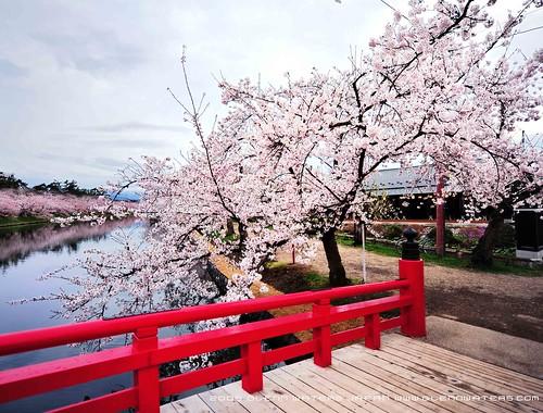 Sakura Bridge (Explored)  6,000 visits to this photo. Thank you.