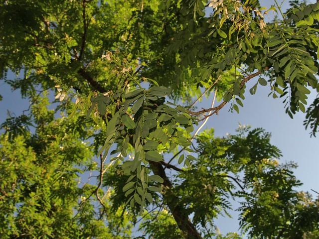 Falsa canela arroyera /Arroyo Sweetwood (Myrospermum sousanum), arbol