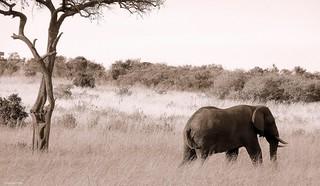 Elephant, Masai Mara reserve