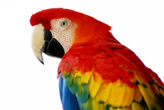 Macaw parrot red - photo#24