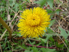 annual plant, dandelion, flower, yellow, plant, sow thistles, flatweed, macro photography, wildflower, flora,