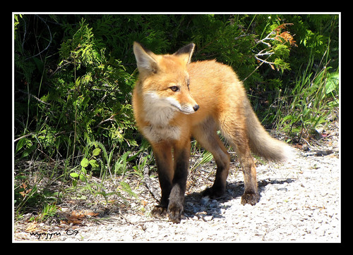 Red Fox Youngster
