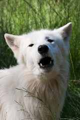 dog breed, animal, dog, pet, white shepherd, berger blanc suisse, greenland dog, kishu, carnivoran, samoyed,