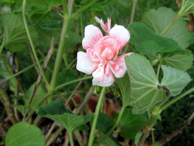 What types varieties of geraniums do i have - Different types pelargoniums ...