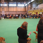 Tollers at Crufts 09