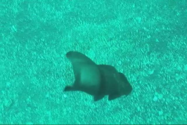 an egg of japanese bullhead shark heterodontus japonicus
