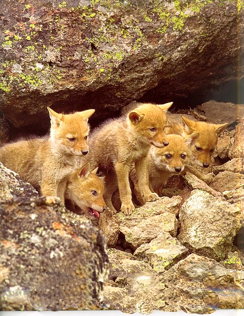 Baby Coyotes | www.img...