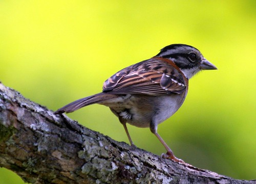 Tico-tico - Crown Sparrow - Zonotrichia capensis