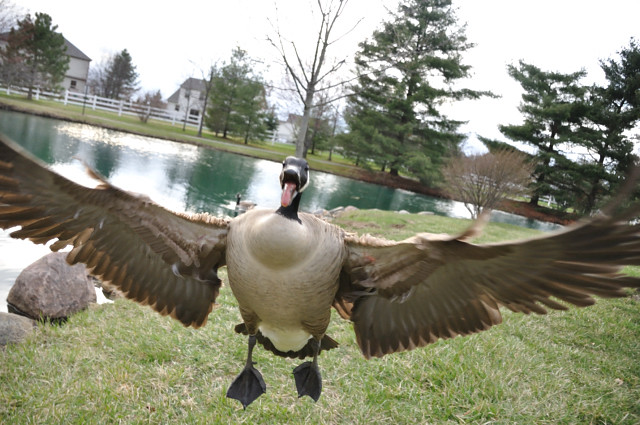 Attacked by geese!