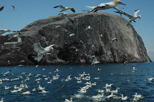 Gannets & Bass Rock