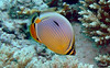 Melon butterflyfish - Similan, Thailand
