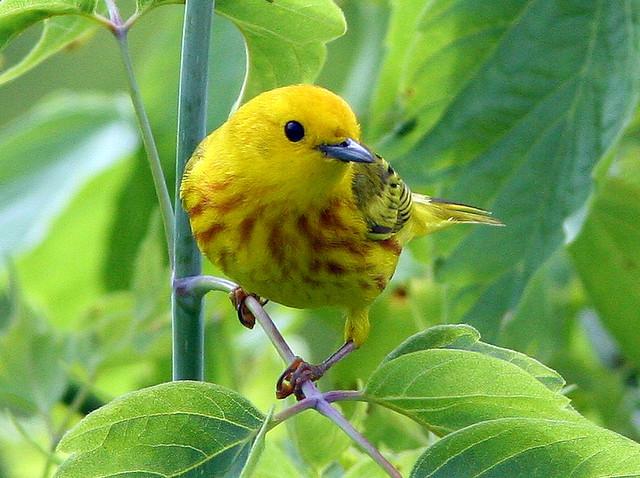 Yellow Warbler 3-20090609