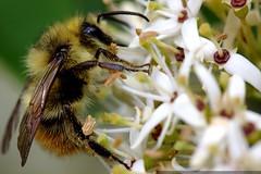 macro bee in the park    MG 5576