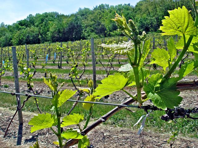 bully hill grape vines