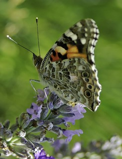 "7489- Wonderful butterfly ! ""Belle dame"" Vanessa cardui 蝴蝶 나비"