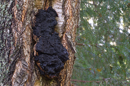 Must pässik; Inonotus obliquus; pakurikääpä