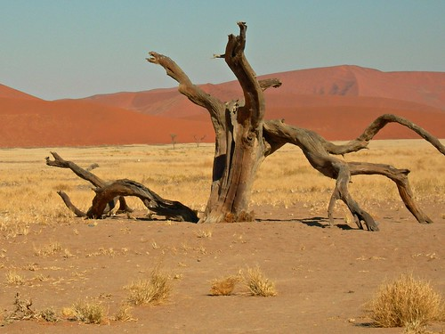 tree in namibia