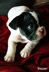 dog breed(1.0), animal(1.0), puppy(1.0), dog(1.0), pet(1.0), toy bulldog(1.0), french bulldog(1.0), boston terrier(1.0), carnivoran(1.0), bulldog(1.0),