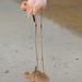 Flamingo Reflections - Galapagos Islands