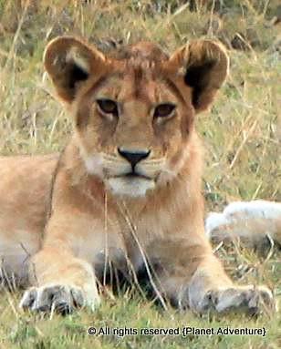 Baby Lion - Serengeti National Park - Tanzania - Africa