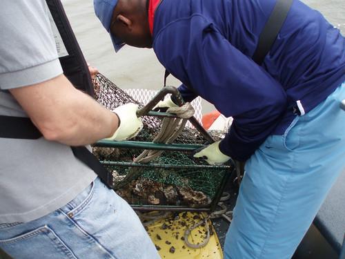 NOAA Mussel Watch: Testing Oysters