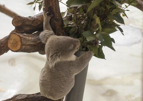 餌食うコアラ