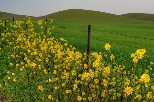 california green grass yellow fence landscape spring nikon hills mustard pastoral livermore hdr brassicaceae d300 mustardflower