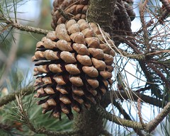 larch, branch, pine, tree, produce, conifer cone, fir, spruce,