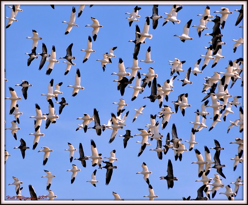 blue sky beautiful pepper fly wings nikon nebraska salt picnik snowgeese d300 18200vr centralflyway aplusphoto mygearandme mygearandmepremium mygearandmebronze mygearandmesilver mygearandmegold mygearandmeplatinum mygearandmediamond