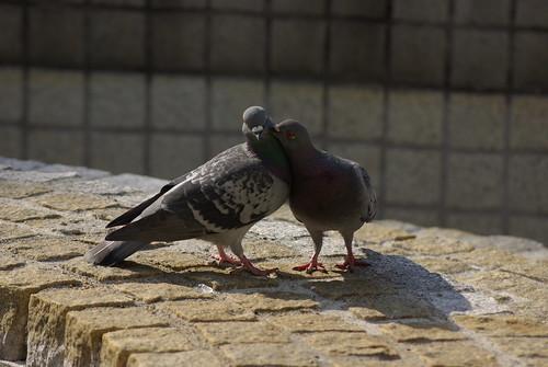 鳩のデート