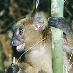 Greater Bamboo Lemur (Hapalemur simus)