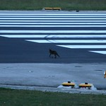 Un zorro en la pista de aterrizaje / A fox in the runway