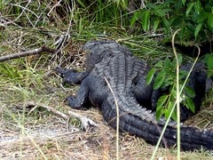komodo dragon(0.0), common snapping turtle(0.0), animal(1.0), reptile(1.0), fauna(1.0), american alligator(1.0), alligator(1.0), crocodilia(1.0), wildlife(1.0),