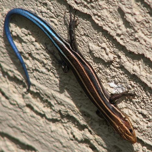 Five-lined Skink (Eumeces (Plestiodon) Fasciatus