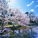 Sakura hirosaki castle moat. © Glenn Waters (Explored)  9,500 visits to this photo. Thank you.