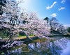 Sakura hirosaki castle moat. © Glenn Waters (Explored)  9,500 visits to this photo. Thank you. by Glenn Waters ぐれんin Japan.