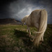 White horse by johann Smari