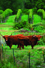 Greenvale Vineyard's pet Highland Steer