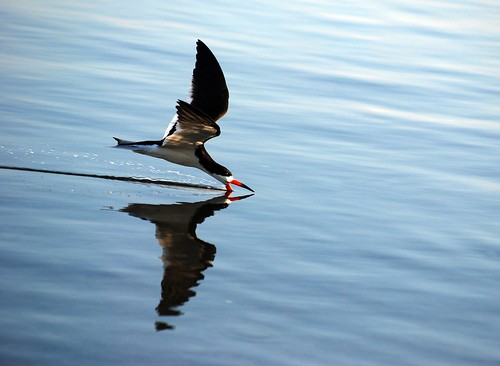 bird water waterbird blackskimmer pensacolabay