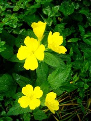 annual plant, flower, yellow, plant, herb, wildflower, flora, evening primrose, common tormentil, herbaceous plant,