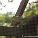 Iguana Specimen - Utila, Honduras