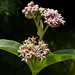 Showy Milkweed - Photo (c) James Gaither, some rights reserved (CC BY-NC-ND)