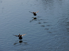 hooded merganser fly away